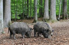 Hogs Lay Waste To Cocaine Stash In The Italian Wilderness