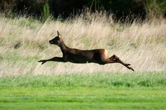 Man Gets Bowled Over By Deer With Ferocity Of Goldberg