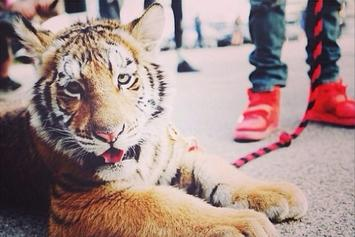 Tyga's Tiger Has Been Confiscated