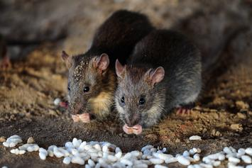 U.S Plots Biological Counterstrike Against Rat-Infested Island