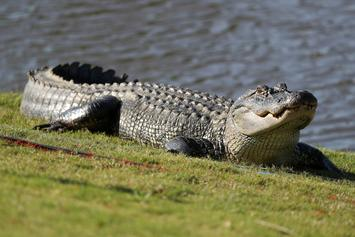 Two Alligators Duel It Out On Golf Course: Watch The Insane Video